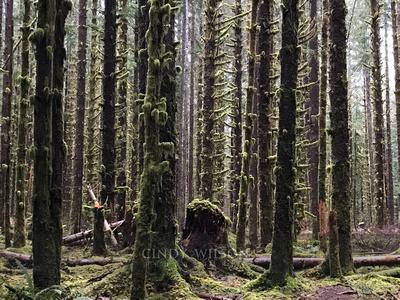 Trees, Hoh Rain Forest
