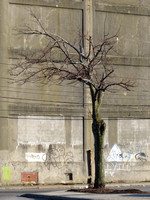 A Tree Grows in Providence